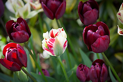 Tulipa 'Flaming Spring Green', 'Ronaldo' and 'Jan Reus' planted in old washer pots in the Oast Garden