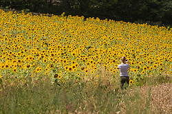 © Licensed to London News Pictures. 05/08/2020. CHORLEYWOOD, UK.  A woman sunflowers on a warm, sunny day which are currently in full bloom, growing in a wheat field, near Chorleywood in Hertfordshire.  The forecast is for much temperatures exceeding 30C by the end of the week..  Photo credit: Stephen Chung/LNP