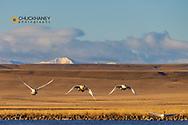 Tundra Swans during spring migration at Freezeout Lake WMA near Choteau, Montana, USA