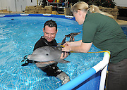 Dolphin Calves Born at Brookfield Zoo <br /> <br /> Mark Gonka, lead trainer for the Chicago Zoological Society assists Rita Stacey, marine mammal curator, as she measures the girth of a 6-week-old bottlenose dolphin. The calf, born on October 28 at Brookfield Zoo, is being handreared by staff because his mother was not providing adequate maternal care<br /> © Brookfield Zoo/Exclusivepix