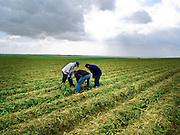 Israel, Kibbutz Beit Kama, Farmers inspect the crop in a potato field