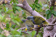 Pair of African green pigeon (Treron calvus) from Zimanga, South Africa. The male is courting the female.