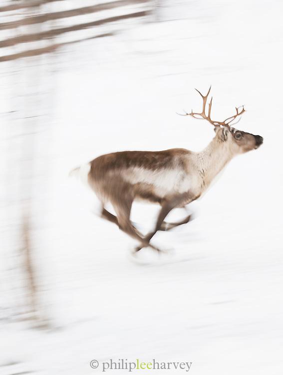 Reindeer running through Lemmenjoki National Park, Lapland, Finland.