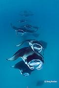 reef manta rays, Manta alfredi (formerly Manta birostris ), chain feeding on plankton, Hanifaru Bay, Baa Atoll, Maldives ( Indian Ocean )