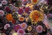 false plum anemones, Pseudactinia flagellifera and <br /> Cape urchins, Parechinus angulosus, False Bay, Cape of Good Hope, South Africa