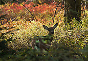 Deer fawn. Lakes Trail, Mazama Ridge, near Paradise, Mount Rainier National Park, Washington, USA.