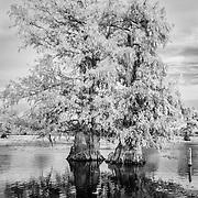 Cypress Pair - Caddo Lake, Texas - Infrared Black & White
