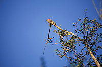 Pajaro carpintero posado en rama de arbol, Melanerpes rubricapillus, Venezuela