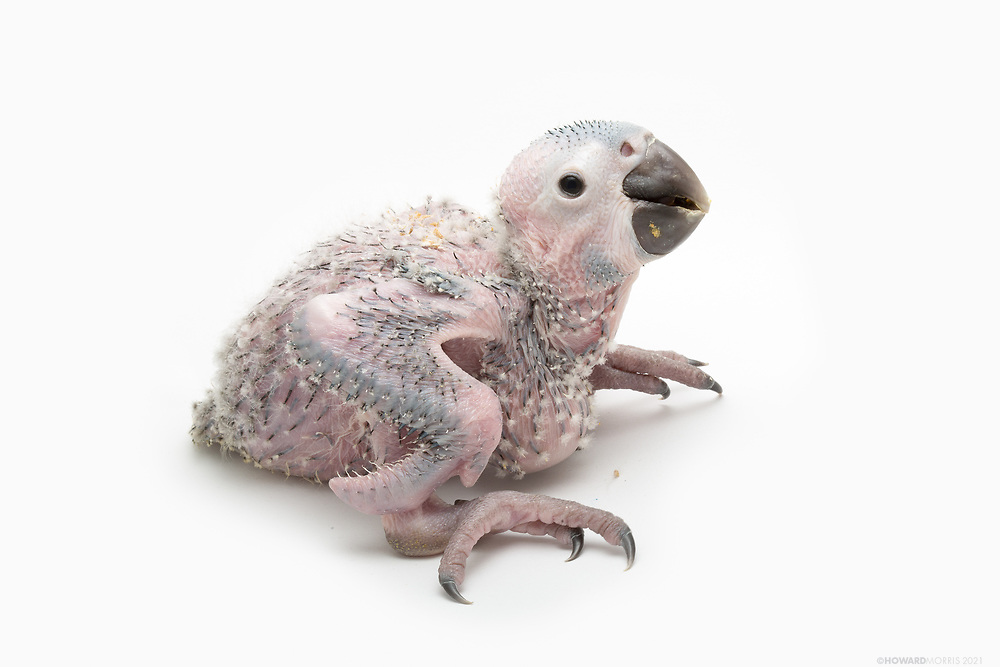 A rare six week old Blue-throated macaw ( Ara glaucogularis ) chick. The Blue-throated macaw is considered critically endangered with an estimated wild population of about 350 in their native Bolivia. Considered on the verge of extinction, this chick may grow to 33 inches tall with a wingspan of about 3 feet.