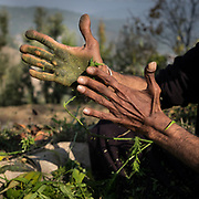 A sadhu making Hashish with marijuana, using his hand. Traditional. In the Himalaya.