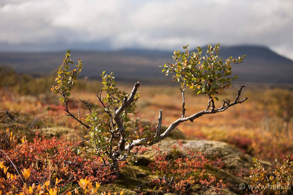 Autumn colors at Thingvellir, Iceland - Haustlitir á Þingvöllum