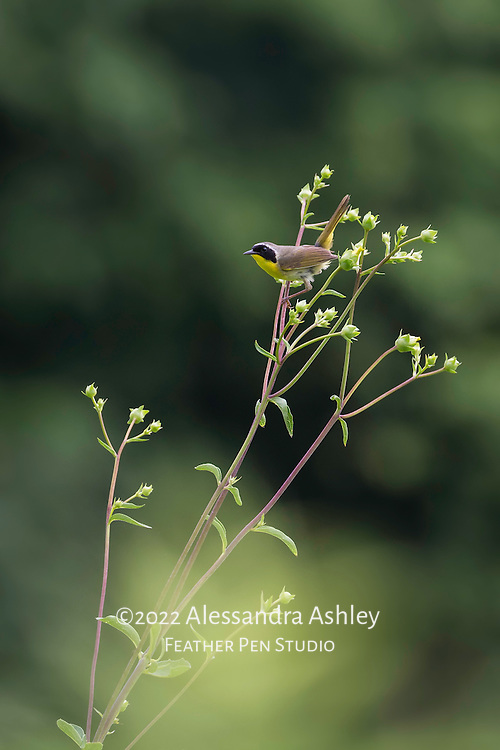 Common yellowthroat warbler male, Geothlypis trichas, perched atop a tall native plant stalk in tallgrass prairie setting. This male was exhibiting courtship display behaviors including tail-flicking and high flight interspersed with landing on perches.