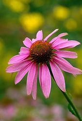 Echinacea purpurea - Coneflower