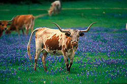 longhorn standing in a field of bluebonnets
