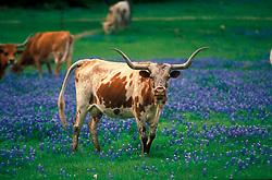 longhorn standing in a field of bluebonnets