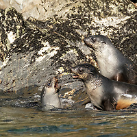 Juvenile Antarctic fur seals play along the shoreline at Elsehul, a bay on the northwest coast of South Georgia Island.