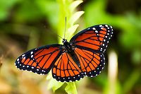 Viceroy butterfly in the heat of a summer day in the Corkscrew Swamp in SW Florida. This is one of the several species to mimic the Monarch's colors and pattern - known to birds for being toxic to eat.