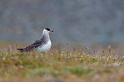 Arctic skua (Stercorarius parasiticus,) from western Spitsbergen, Svalbard, Norway.