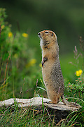 artic Ground Squirrel in Denali National Park