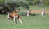 Kangaroo and wallabys
