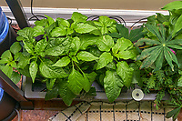 AeroGarden Farm 03-Left. Pepper Plants (106 days). Image taken with a Leica TL-2 camera and 35 mm f/1.4 lens (ISO 400, 35 mm, f/8, 1/50 sec).