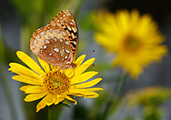Butterfly, Great Spangled Fritillary, Speyeria cybele, On A Compass Flower