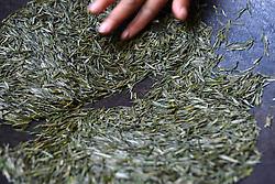 THEMENBILD - Bei der traditionellen Produktion von Schwarztee, orthodoxe Teeproduktion genannt, durchlaufen die Teeblätter fünf Stufen: das Welken (Withering), damit die Blätter weich und zart werden, das Rollen (Rolling), das Aussieben, die Oxidation und zum Schluss die Trocknung (Firing). Um die Blätter nach dem Pflücken zu erweichen, wurden sie früher zwei Stunden in die Sonne gelegt. Später verwendete man Welkhürden in speziellen Hallen, in denen eine Temperatur von 20 bis 22 °C herrschte. Der Welkprozess dauerte dann bis zu 24 Stunden. Heute werden meistens so genannte Welktunnel eingesetzt, die die Teeblätter auf Fließbändern durchlaufen. Die Stärke der Welkung wirkt sich (im umgekehrten Verhältnis) auf den Grad der später erzielbaren Oxidation aus. Aufgenommen in Zhongcunba am 7. April 2016 // A worker stirs tea leaves in Zhongcunba Village of Xuan'en County, central China's Hubei Province, April 7, 2016. EXPA Pictures © 2016, PhotoCredit: EXPA/ Photoshot/ Song Wen<br /> <br /> *****ATTENTION - for AUT, SLO, CRO, SRB, BIH, MAZ, SUI only*****