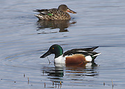 Male and female shovelers (Anas clypeata). Rye Harbour Nature Reserve. Rye, Sussex, England, UK.
