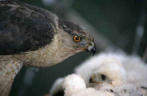 Cooper's Hawk(Accipiter cooperii) adult feeding chicks in the nest in Canada.