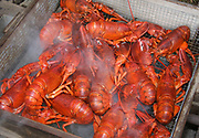 Many red lobsters cooking in a square metal basket with steam rising