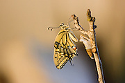 Old World Swallowtail (Papilio machaon) Butterfly as it emerges from its cocoon. Photographed in Israel, Summer July