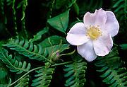Prairie Rose & Bracken Fern -Mississippi