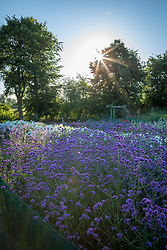 Dawn over the stock beds at Green and Gorgeous with Verbena bonariensis - Argentinian vervain -and Phlox paniculata 'David' in the foreground.