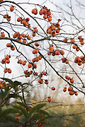 Kaki fruit on tree during fall season
