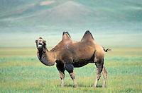 Mongolie. Province du Khentii. Chameaux. // Camel. Khentii province. Mongolia.