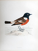 19th century artwork of African stonechat or common stonechat(Saxicola torquatus)