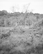 Two straggly silver birch trees in amongst the heather and bog. Photograph by Andrew Tobin/Tobinators Ltd
