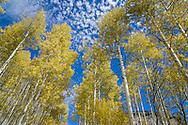 Aspen trees in fall in Crystal, Colorado.