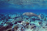 dugong or sea cow, Endangered Species, Dugong dugon, swimming over shallow coral reef, Vanuatu, South Pacific