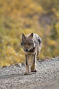 Wolf, Canis lupus, pup, autumn, walking on dirt road, Grant Creek pack, Denali National Park, Alaska, vertical, wild