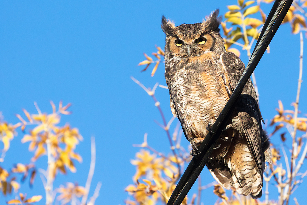 http://Duncan.co/great-horned-owl-on-a-wire