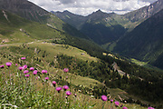 Wild flowers growing on the roadside near the top of the Jaufenpass, the highest point at 2,094 metres on the road between Meran-merano and Sterzing-Vipiteno in South Tyrol, Italy. South Tyrol has a surface area of 7,400sq km, roughly the same as the Black Forest and is the largest province in Italy with 60% of this is 1,600 metres above sea level and its birth rate is the fourth highest of Italian provinces. The Jaufenpass (Italian: Passo di Monte Giovo) (alt 2094m.) is a high mountain pass in the Alps in the South Tyrol in Italy. It connects Meran and Sterzing on the road to the Brenner Pass. It is the northernmost pass in the Alps that is completely in Italy. The pass road is very winding, with many switchbacks.