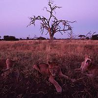 Africa, Botswana, Chobe National Park, Lion cubs (Panthera leo) rest in tall grass on Savuti Marsh before sunrise