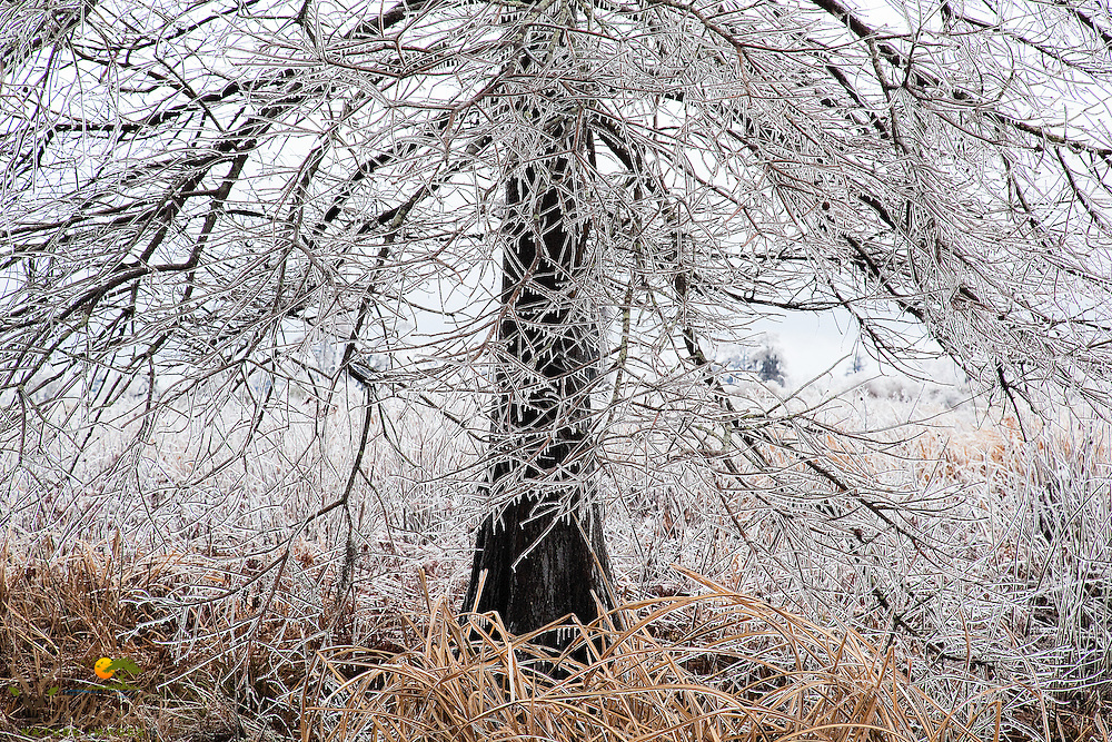 Detail of frozen rain on rice-field tree
