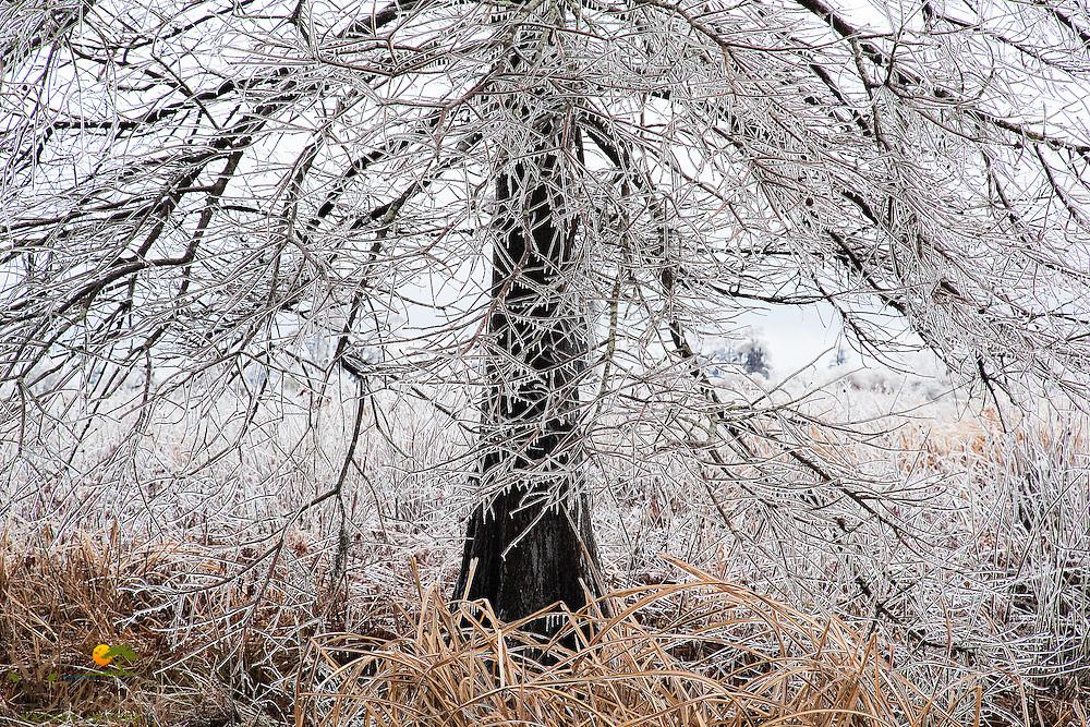 Detail of frozen rain on rice-field tree