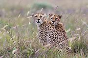 Two cheetah, Acynonix jubatus, standing and looking at the camera.