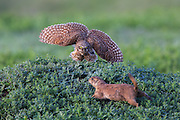 A Burrowing Owl Defends its Nest from a Prairie Dog.