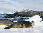"""The leopard seal (Hydrurga leptonyx), also referred to as the sea leopard, is the second largest species of seal in the Antarctic region. It is most common in the southern hemisphere along the coast of Antarctica and on most sub-Antarctic islands, but can also be found on the coasts of southern Australia, Tasmania, South Africa, New Zealand, Lord Howe Island, Tierra del Fuego, the Cook Islands, and the Atlantic coast of South America. Along with all of the other earless seals, it belongs to the family Phocidae, and is the only species in the genus Hydrurga. The name hydrurga means """"water worker"""" and leptonyx is the Greek for """"small clawed"""". The leopard seal is large and muscular, with a dark grey back and light grey on its stomach. Its throat is whitish with the black spots that give the seal its common name."""