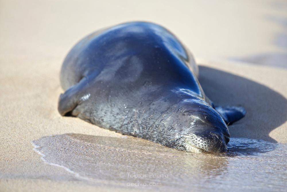 Male Hawaiian monk seal rests on the sand at Poipu Beach, on the island of Kauai, Hawaii.