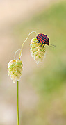 Minstrel bug on a plant. Minstrel bugs (Graphosoma lineatum) are a species of shield bug (superfamily Pentatomoidea) Photographed in Israel.